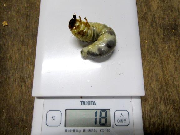 本土ヒラタ(熊本産)の幼虫18グラム