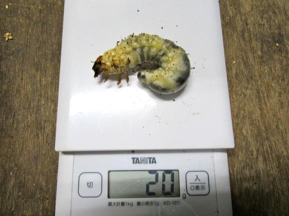 マット飼育の本土ヒラタクワガタの幼虫20グラム