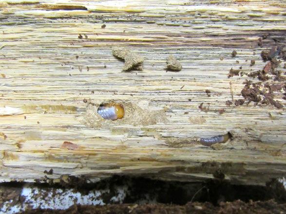 産卵木を割って出て来た屋久島産ヒラタの幼虫です。