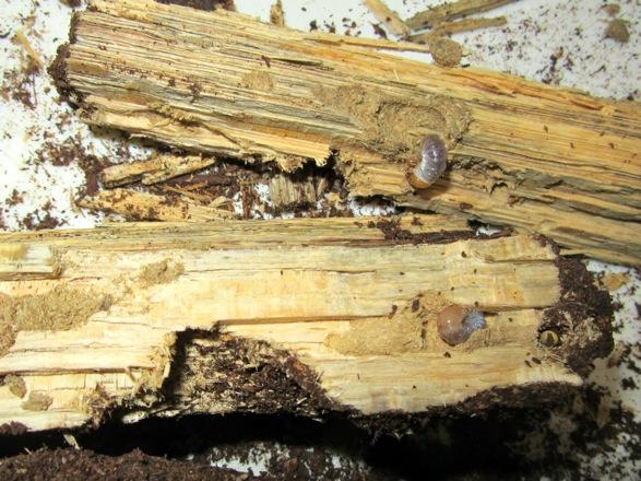 産卵木の中の屋久島産ヒラタの幼虫