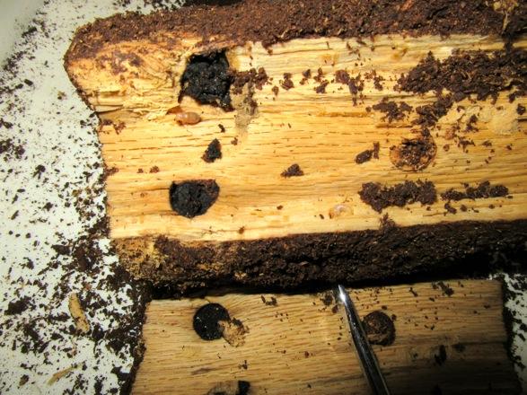 産卵木を割って出て来た幼虫です。