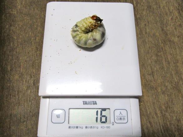 トクノシマノコギリクワガタの幼虫