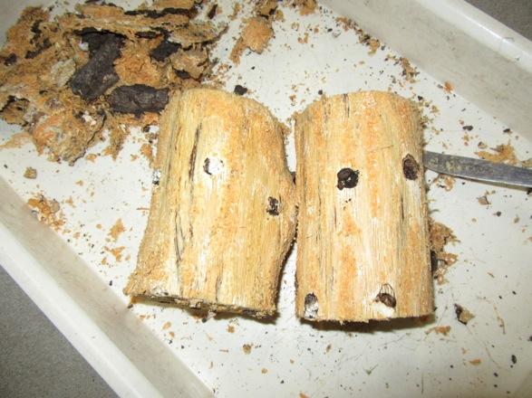 樹皮を完全に剥がします。