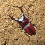 真っ赤なミシマコクワ48ミリとヤクシマコクワ50ミリ大型個体の羽化情報