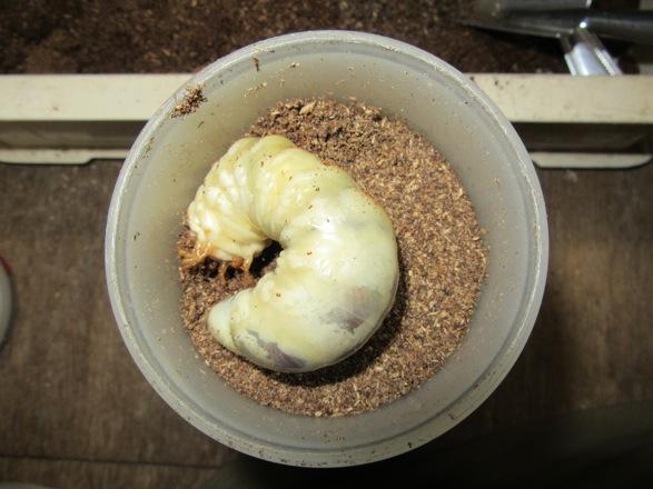 タカラヒラタの幼虫をマットボトルに入れました。