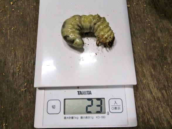 タカラヒラタクワガタの幼虫23グラム