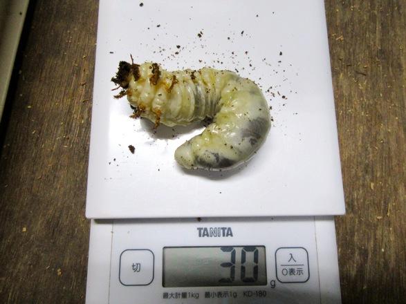 トクノシマヒラタクワガタの幼虫30グラム