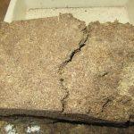 アマミシカクワガタの産卵木の割り出し(幼虫採取)