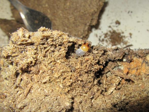 マットの中から出て来たアマミシカの二齢幼虫
