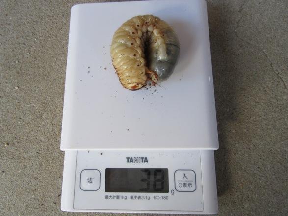 カブトムシのオスの幼虫38g