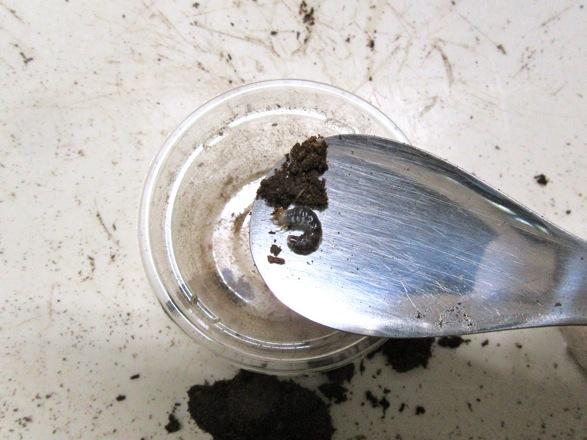 幼虫を専用スプーンでカップに運び入れます。