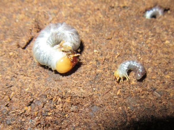 マットのから出て来た大きな二齢と初齢幼虫
