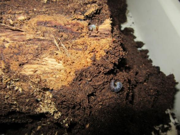 産卵木の周辺のマットから出て来た幼虫