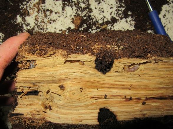 産卵木から出て来た初齢幼虫