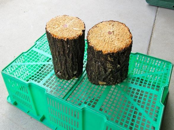 加水済みの産卵木をカゴの上に乗せて日陰干しをします。