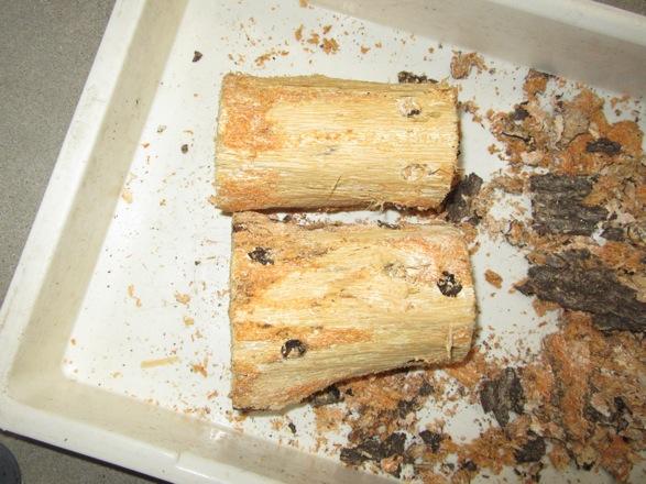産卵木2本の樹皮を完全に剥がした状態