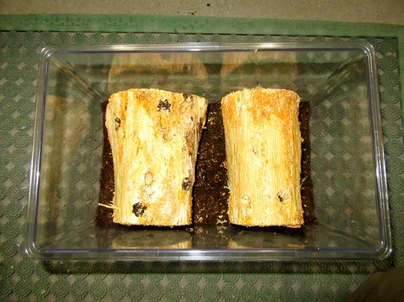 マットを押し固めたら樹皮を剥がした産卵木を入れます。
