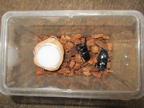 飼育容器で交配させているトクノシマヒラタのペア