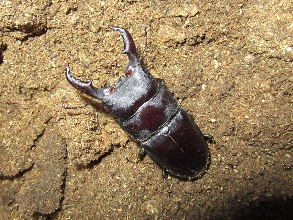 オキノエラブヒラタ65ミリ