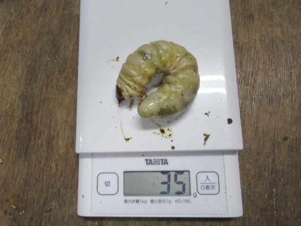 オオクワガタ佐賀県神埼の終齢幼虫35グラム