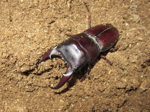 国産ヒラタクワガタ(鹿児島産64ミリ)