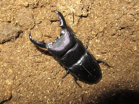 タカラヒラタ67ミリ
