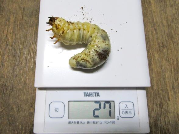 トクノシマヒラタの幼虫