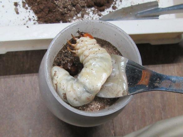 トクノシマヒラタの幼虫をマットボトル850ccに投入しました