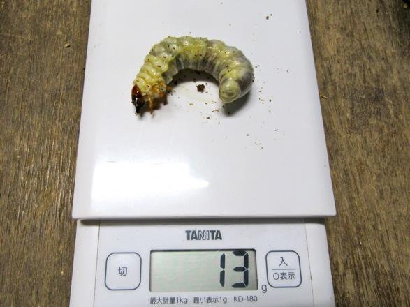 ヤクシマノコギりクワガタの幼虫