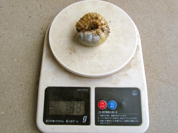 カブトムシの幼虫38グラム