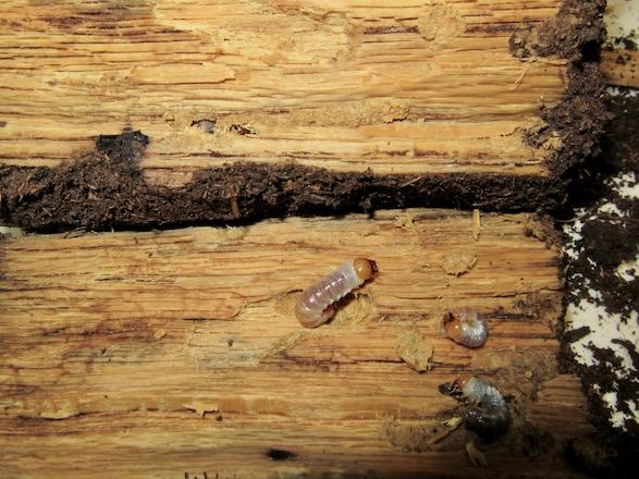 産卵木の中心付近から出てきた幼虫