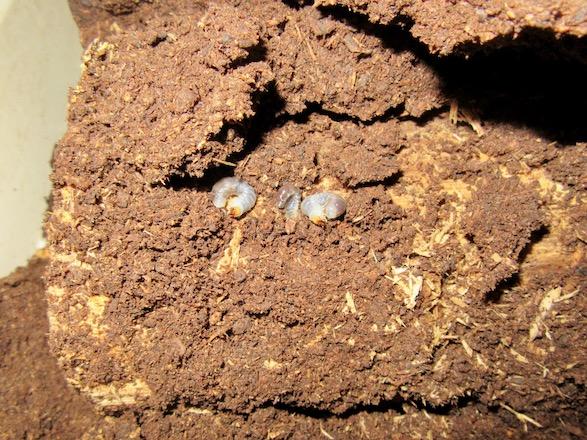 マットの中から密集して出てきた初齢幼虫