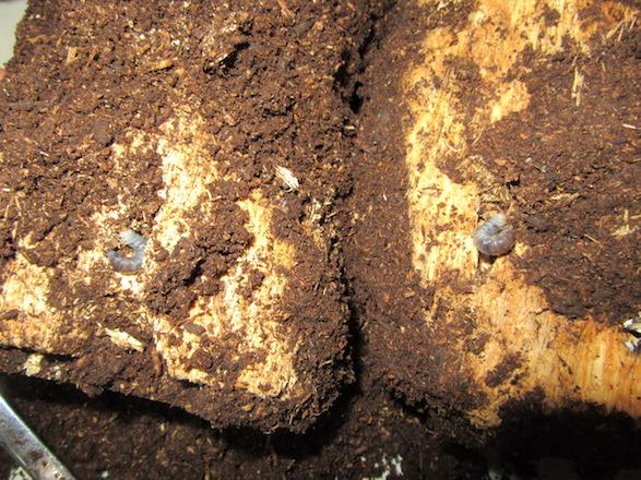 朽ち木の幼虫