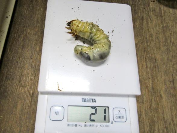 ゴトウヒラタ若松島産の終齢幼虫21グラム