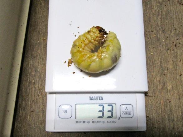 佐賀県神埼産のオオクワガタの幼虫