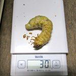 オオクワガタの幼虫の菌糸ビン交換