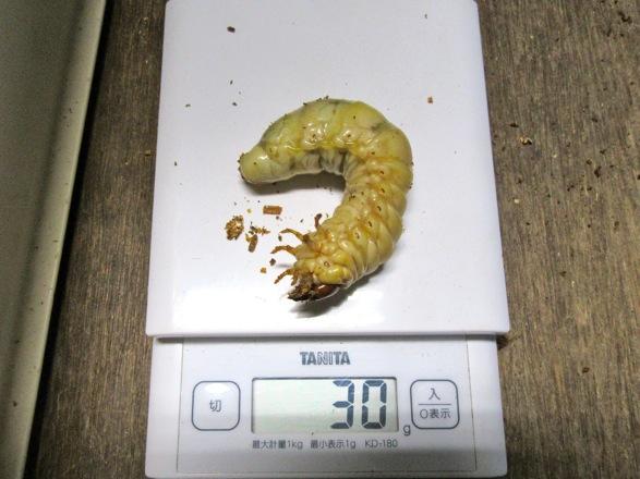 オオクワガタ久留米産30グラム