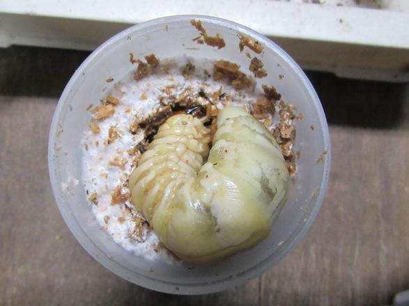 幼虫を菌糸ビンに開けた穴に入れます。