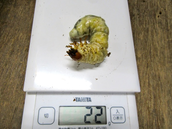 タカラヒラタの終齢幼虫22グラム