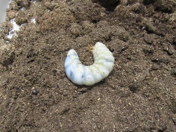 トカラノコギリ(中之島産)の終齢幼虫