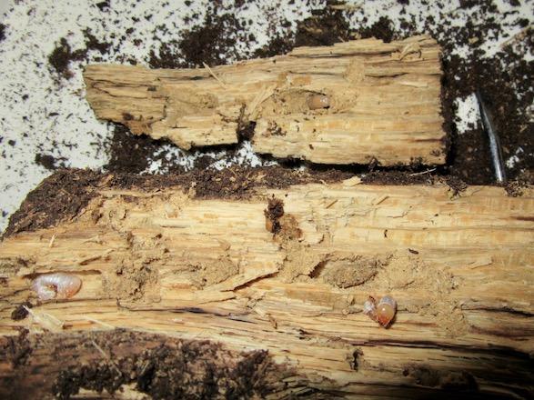 産卵木から出てきたチョウセンヒラタの幼虫