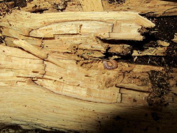 産卵木の破片から出てきた初齢幼虫