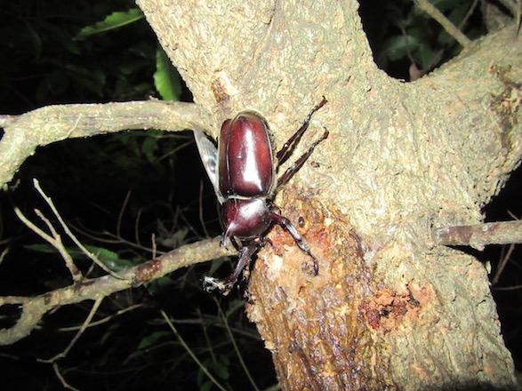 虫吉の森で見つけたカブトムシ