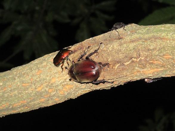 カナブンと一緒に樹液を吸うカブトムシのメス