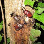樹液酒場のカブトムシ達と天然ノコギリの越年個体の情報