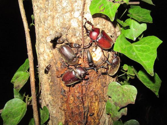 樹液酒場に集まるカブトムシ達