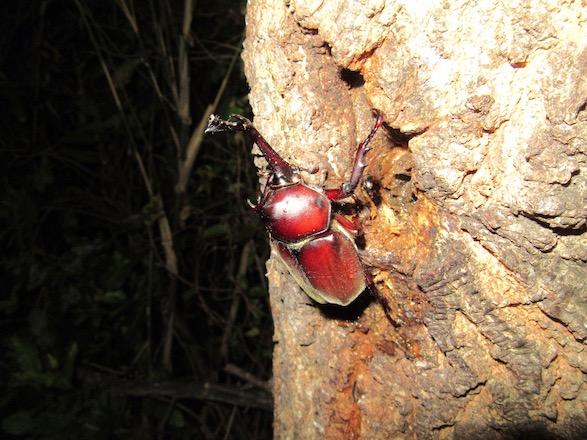 綺麗な赤いカブトムシ