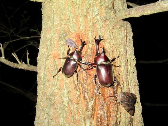 綺麗に並んで樹液を吸っている2匹のカブトムシのオス