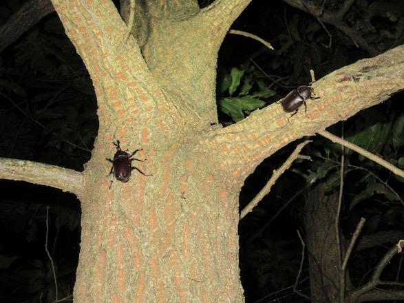 同じ木の上にいたカブトムシのオスとメス