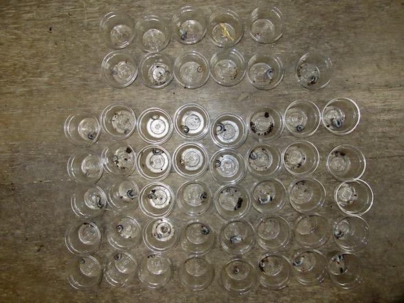 今回のオキノエラブノコギリの幼虫の割り出し結果(51匹)